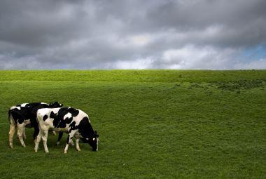 Koeien op de wei